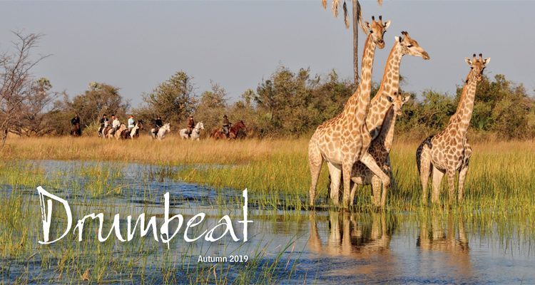 Drumbeat Spring 2019 frontcover with a herd of giraffe and riding safaris in the Okavango Delta, Botswana