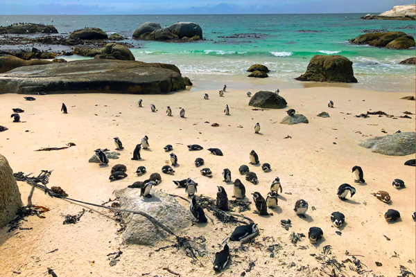 Penguins at Boulders Bay, Simon's Town credit Rosanna Pile