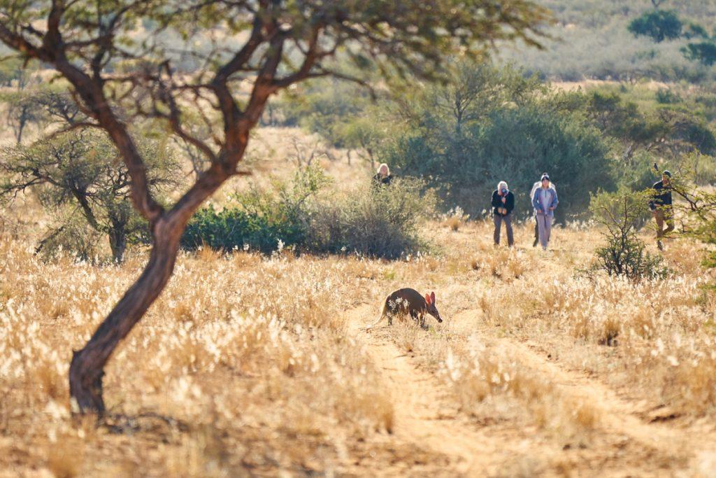 Tswalu Motse walking safari aardvark