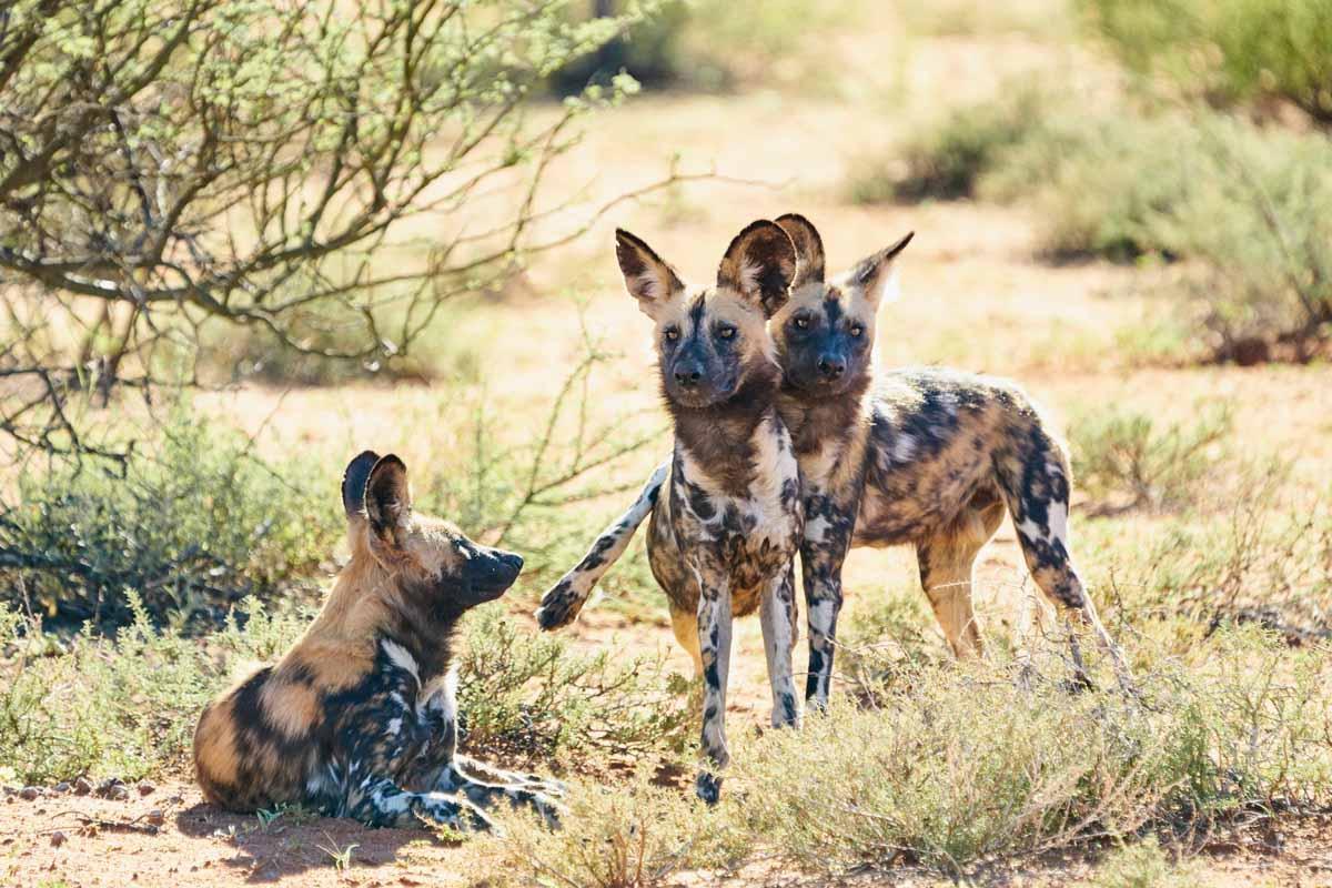 Tswalu Motse wild dogs