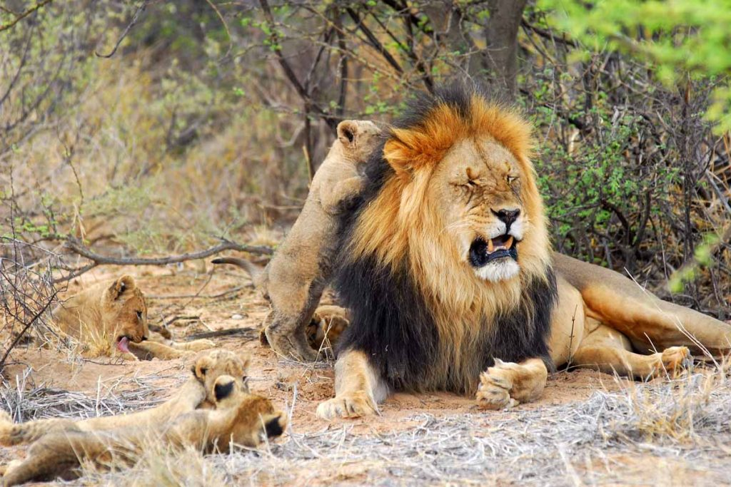 Tswalu Motse lion and cubs