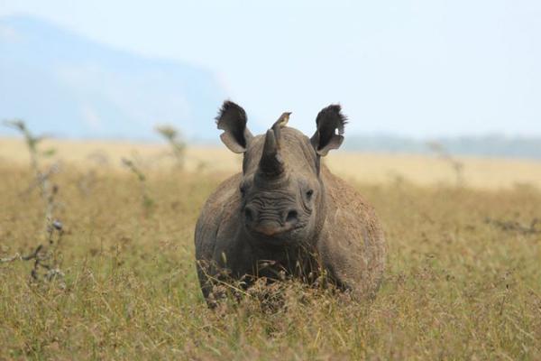 Rhino at Borana Lodge