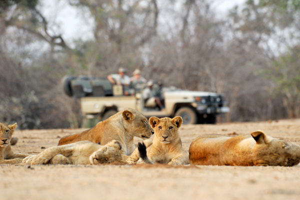 Lion cubs on game drive from Chiawa Camp, Lowe Zambezi Valley National Park