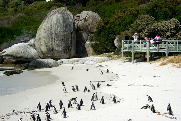 Boulders Beach in Cape Town, famous for its colony of penguins, Wilderness Safaris