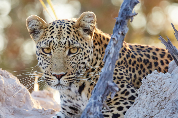 Leopard on a wildlife drive from Kwara Camp