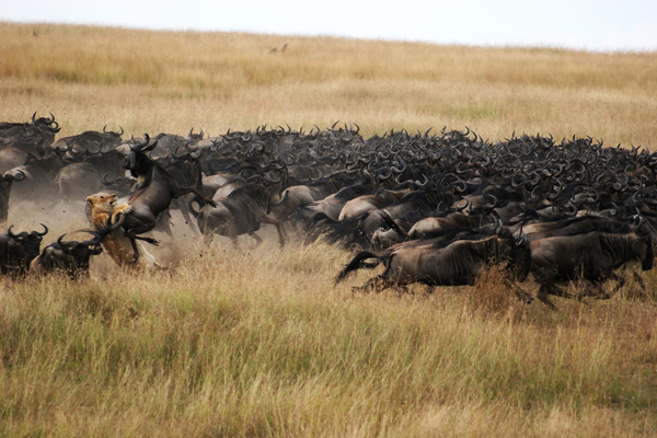 Dramatic scenes during the wildebeest migration, Mara Plains Camp
