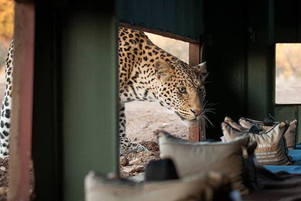 Inquisitive leopard at one of the hides on the Mashatu Reserve