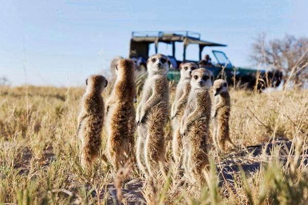 Meerkats, highlights of a visit to San, Jack's and Camp Kalahari