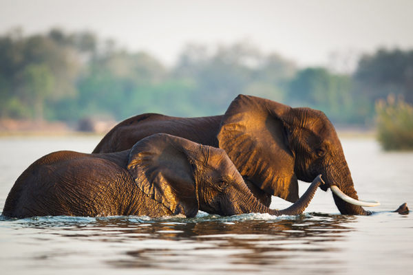 Elephant strolling through the Lower Zambezi River