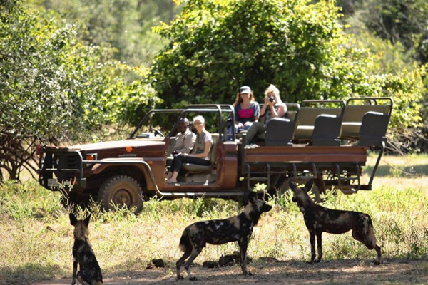 Wild dog on a game drive from Chongwe River Camp