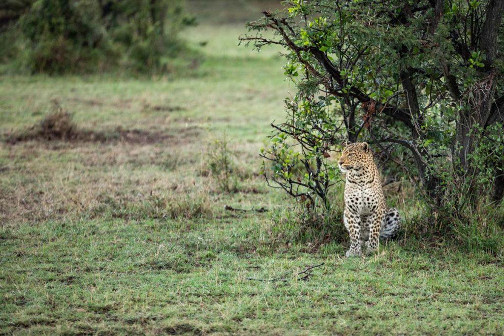 Mara Nyika Camp leopard
