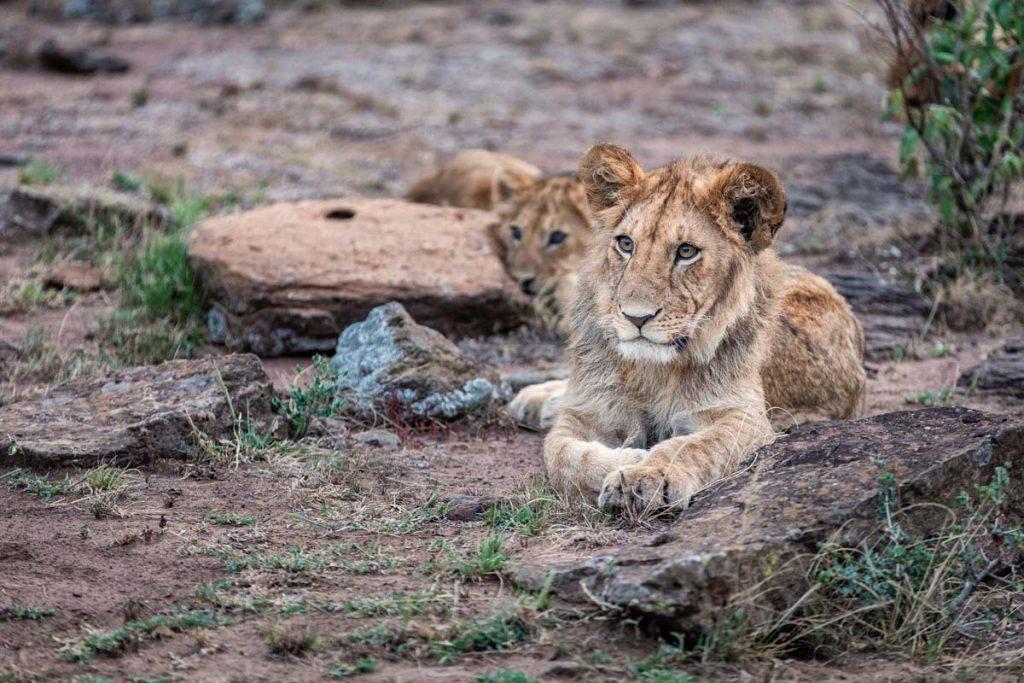 Mara Nyika Camp lion