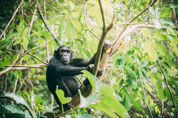 Chimps in the Mahale Mountains, Greystoke Mahale