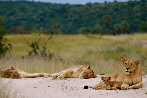 Lions in Ruaha National Park, Kigelia Camp