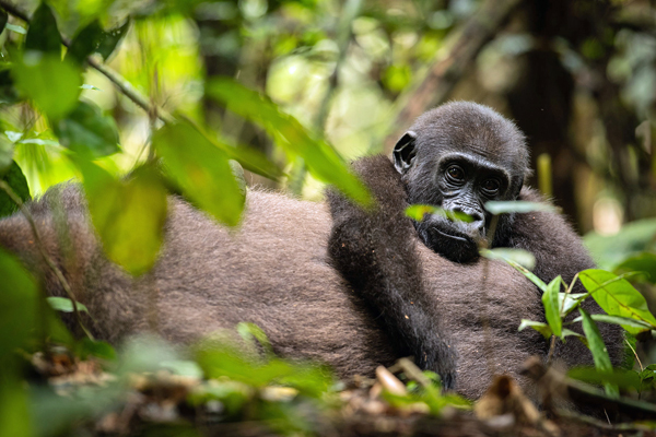 tracking Lowland gorillas at Sangha Lodge