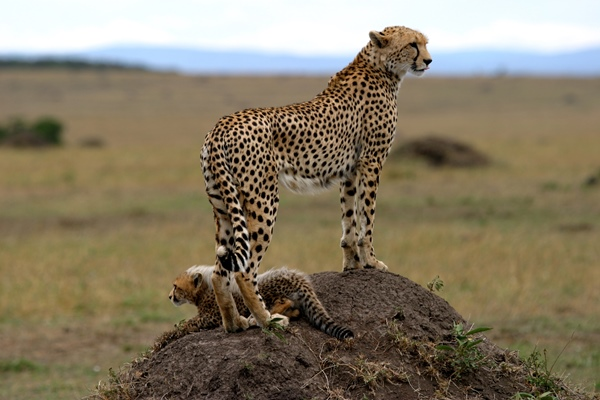 Cheetah and cub in the Masai Mara, Richard's River Camp