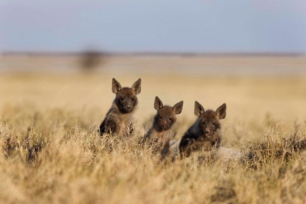 Brown hyena cubs in the Makgadikgadi Pans, San Camp