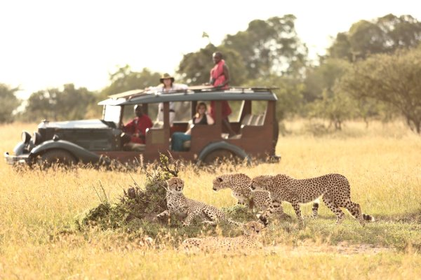 Cheetah seen on a wildlife drive from Cottar's 1920's Safari Camp