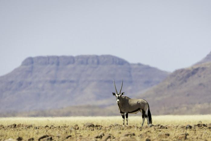 Lone Oryx, Desert Rhino Camp