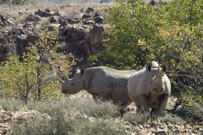 Tracking black rhino at Desert Rhino Camp
