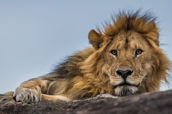Magnificent lion close to Cottar's 1920's Safari Camp