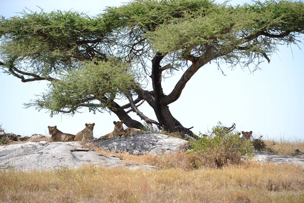 Lions on the lookout near Namiri Plains Camp