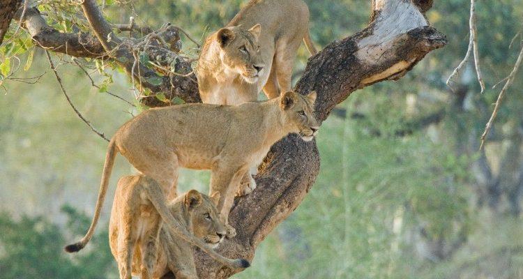 Lion at Makuleke