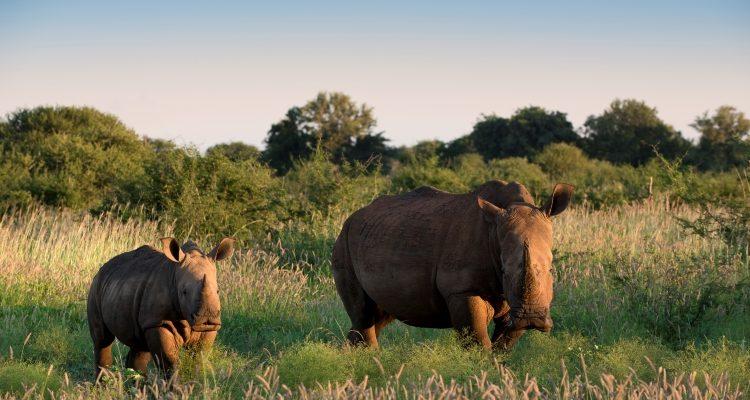 MADIKWE – SECRET SOUTH AFRICA -two white rhinos