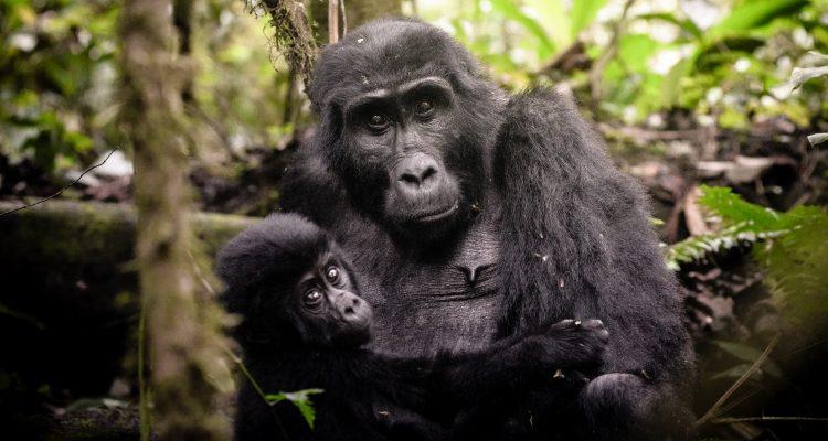 Bwindi Impenetrable Rainforest - gorilla mum and baby