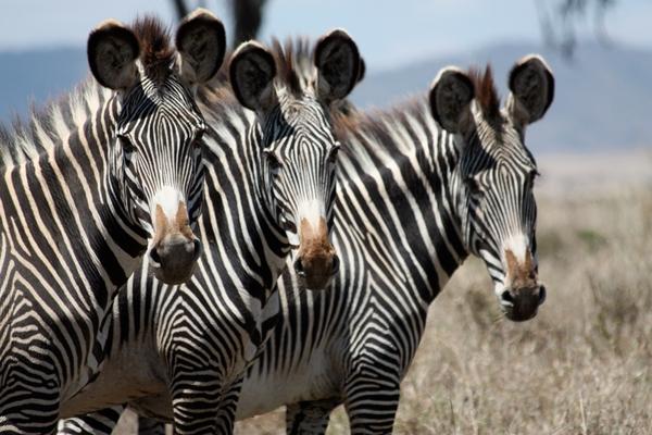 Grevy's zebra in Laikipia. Sirikoi House