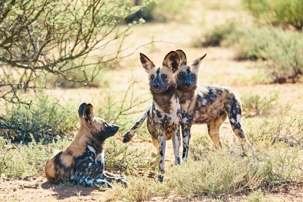 Wild dog at Tswalu