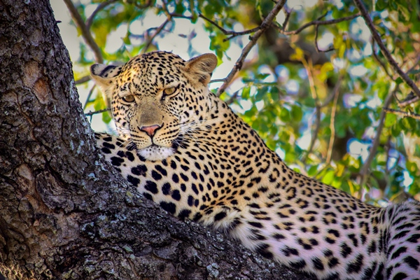 Leopard near Ngala Tented Camp