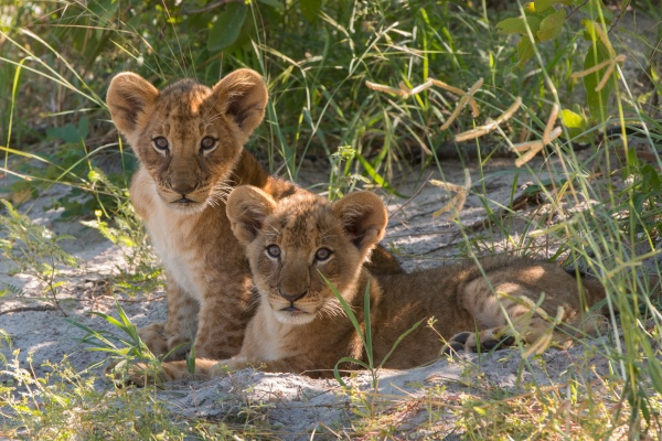Lion cubs spotted on a wildlife drive from Kwando Lebala Camp,