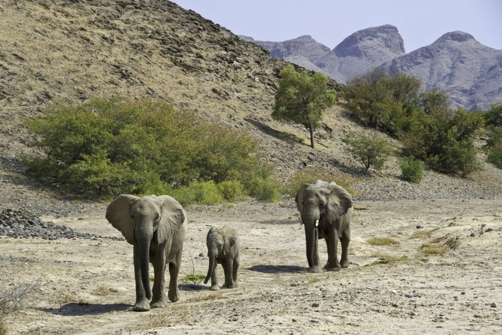 Desert adapted elephants near Hoanib Skeleton Coast Camp
