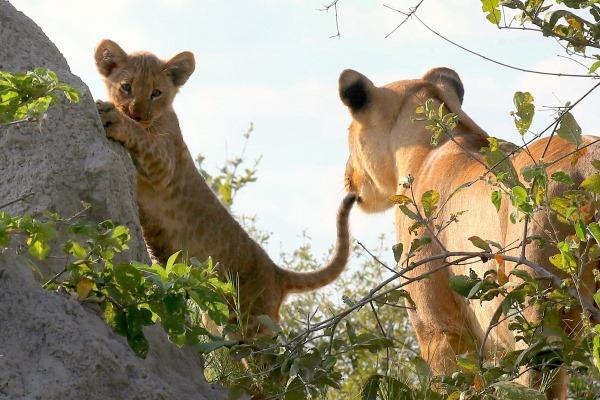 Lion cub practising climbing skills close to Lagoon Camp