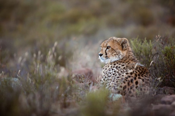 Cheetah are one of several species to have been successfully reintroduced at Samara