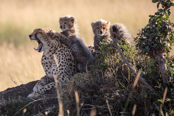 Cheetah family spotted on a drive from Offbeat Mara Camp