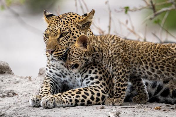 Mombo Camp leopard