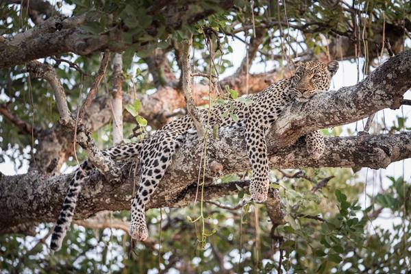 Lepard Katavi National Park