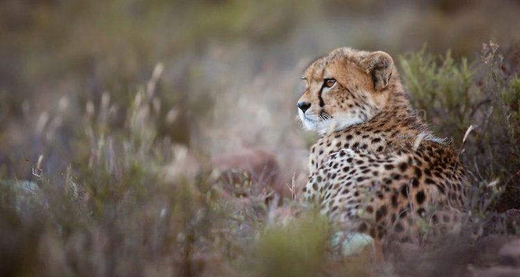 'Cheetah Family and Me' on BBC2 with Gordon Buchanan