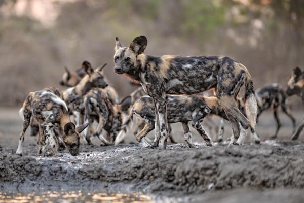 Wild dog near Kanga Camp