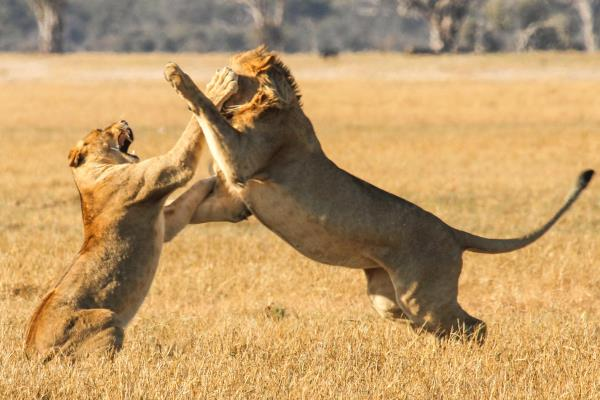 Bomani Lodge lions
