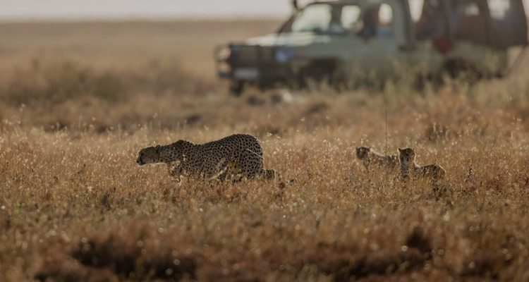 Safari In Africa Is Back; How To Do It Hassle Free